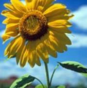 Sussex County Sunflower Art Print