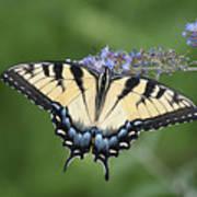 Swallowtail 20120723_24a Art Print