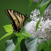 Swallowtail Beauty Art Print