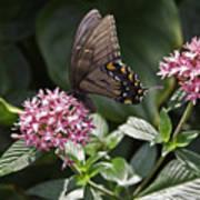 Swallowtail Buterfly Art Print