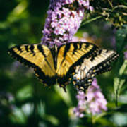 Swallowtail Butterfly At The Maryland Zoo Art Print