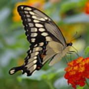 Swallowtail On A Lantana Art Print