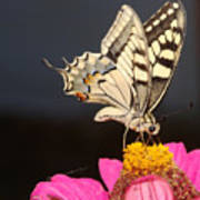 Swallowtail On Pink Flower  Art Print