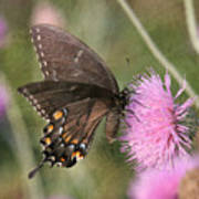 Swallowtail On Thistle Art Print