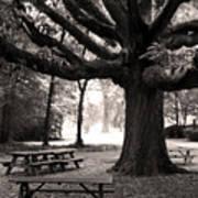 Swamp Chestnut Oak Tree-rosedale Plantation Art Print