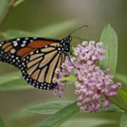 Swamp Milkweed Monarch Art Print