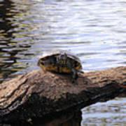 Swamp Turtle Art Print
