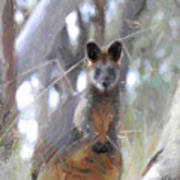 Swamp Wallaby Art Print