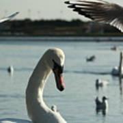 Swan And Gulls  Art Print