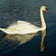 Swan Blasting Away Art Print