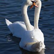 Swan Courtship  Art Print