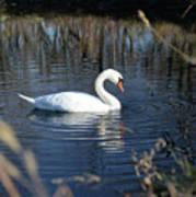 Swan In Blue Pond Art Print