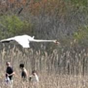 Swan In Flight Art Print