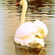 swan in the genus Cygnus Art Print