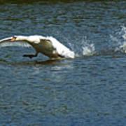 Swan Landing 2 Art Print