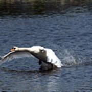 Swan Landing 3 Art Print