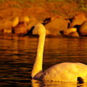 Swan Near Sundown Art Print
