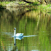Swan On The Cong River Cong Ireland Art Print