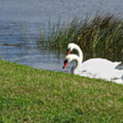 Swan Pair As Photographed Art Print
