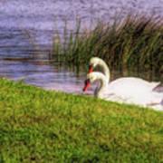Swan Pair Warm Color Art Print
