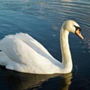 Swan Strutting Art Print