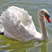 Swan Swimming By Art Print
