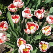 Swanhurst Tulips Art Print