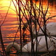 Swans 1 Art Print