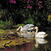 Swans And Signets Art Print