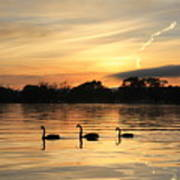Swans At Dawn Art Print