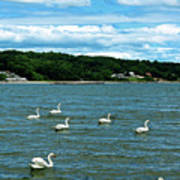Swans At Tappan Beach Art Print