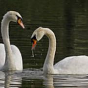 Swans Courtship Art Print