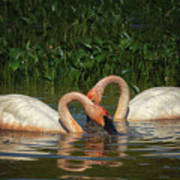 Swans In A Pond  Art Print