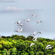 Swans In Flight Art Print