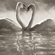 Swans In Lake Art Print