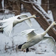 Swans Landing Art Print