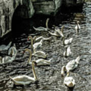 Swans On The Canal Art Print
