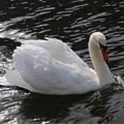 Swans Reflection Art Print