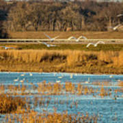 Swans Returning To The Roost At Riverlands 7r2_dsc3855_12202017 Art Print