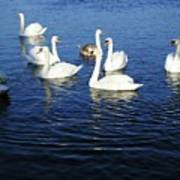 Swans Sligo Ireland Art Print