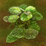 Swedish Ivy Art Print
