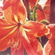 Sweet Amaryllis Art Print
