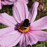 Sweet Bee On Pink Cosmos - Digital Art Art Print