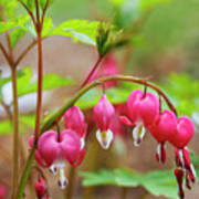 Sweet Bleeding Heart Art Print