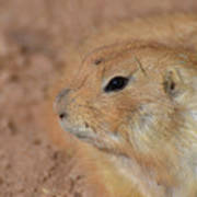 Sweet Face Of A Prairie Dog Up Close And Personal Art Print