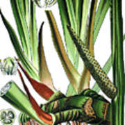Sweet Flag Or Calamus, Acorus Calamus Art Print