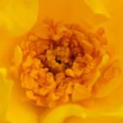 Sweet Heart Of Yellow Rose Art Print
