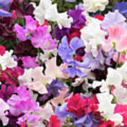 Sweet Pea Spencer Flowers Art Print