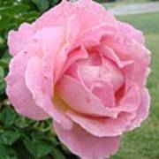 Sweet Peach Rose Art Print