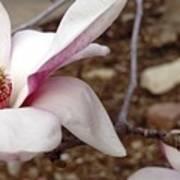 Sweet Pink Magnolia Art Print